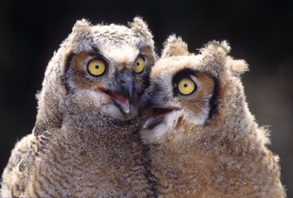 Talking Owls