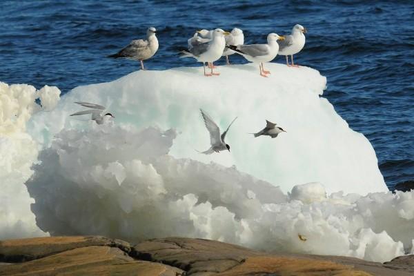 Gulls_6555