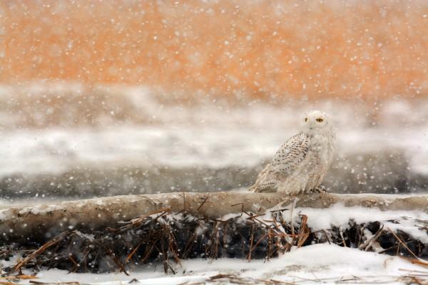 Snowy_3890-sm