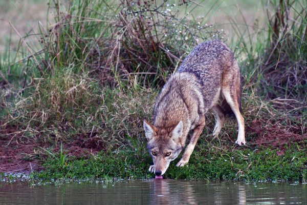 12-Coyote_9133-lr