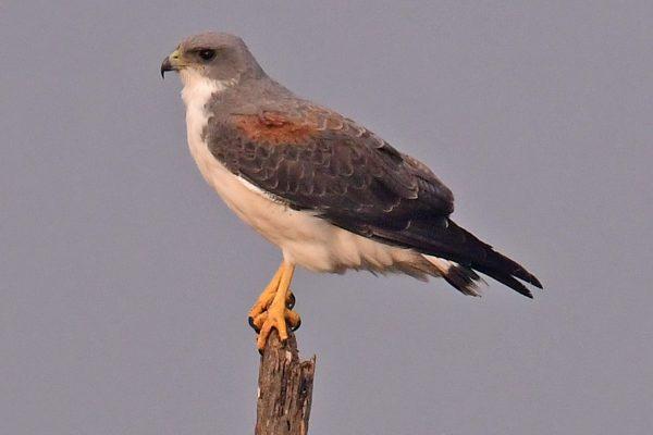 15-Hawk_4434-lr