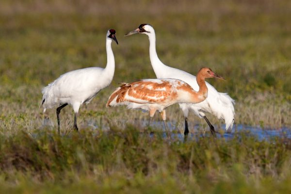 38-Whoopers_6486-lr