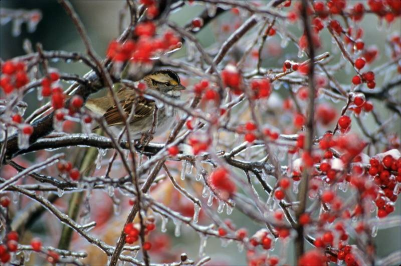 Ice Sparrow