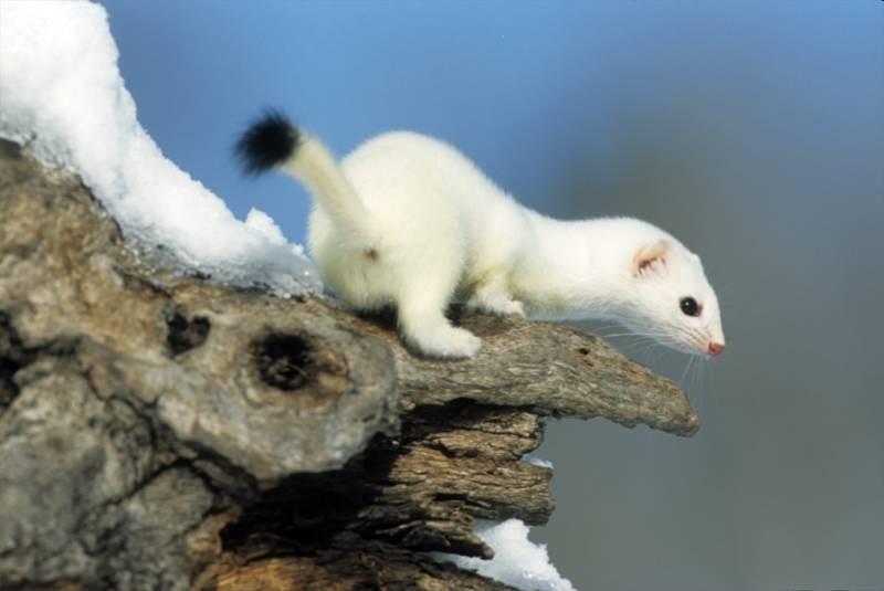 Little Weasel