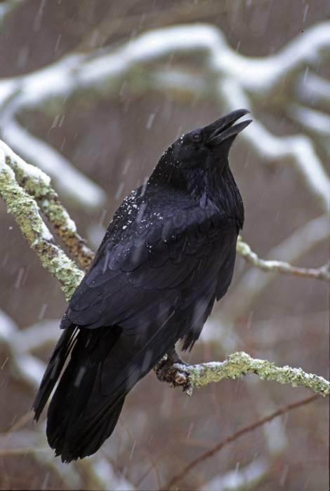 Luminous Landbirds Ravenwood Press