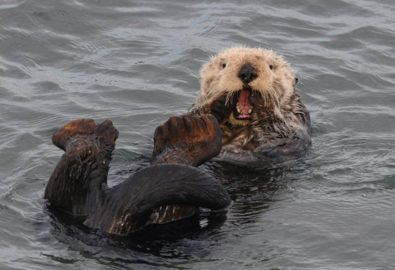 Otter Yawn