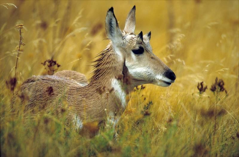 Prairie Gazelle