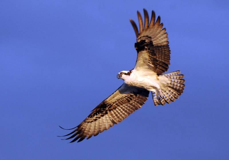 Spread Osprey
