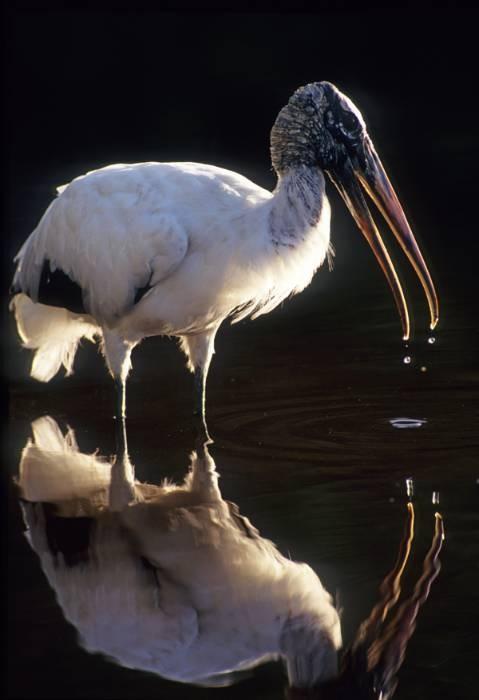Stork Tears