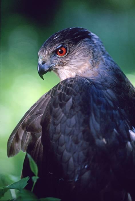 Regal Raptors Ravenwood Press