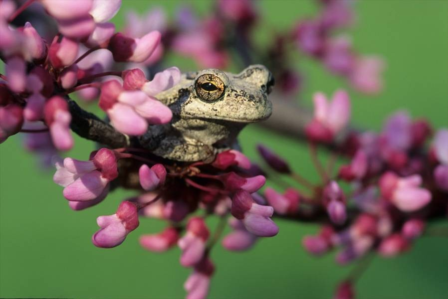 Frog Blossoms
